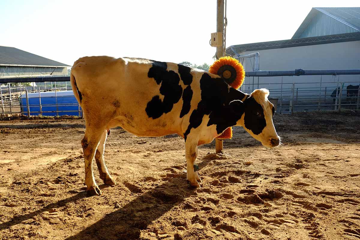 Alepa Dairy Cow Comfort