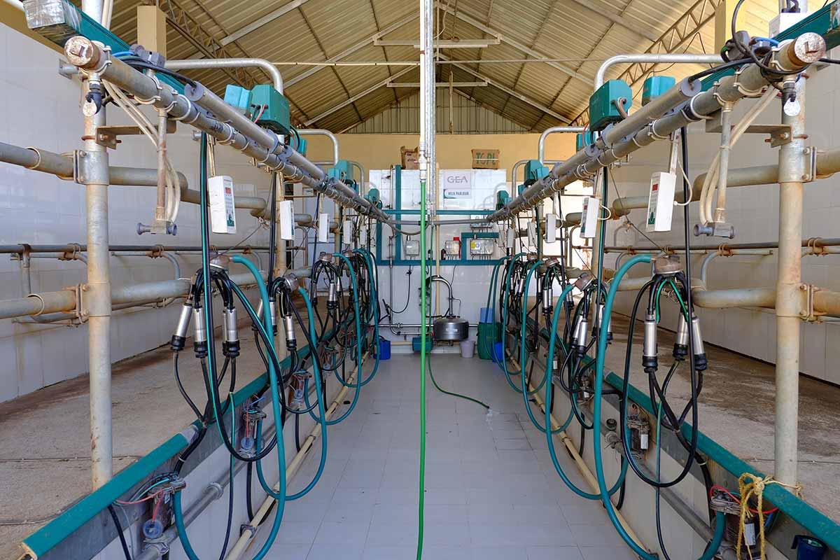 Alepa Dairy Milking Timing